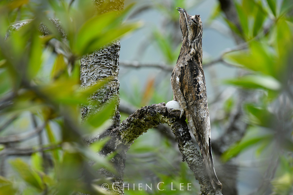 A nesting Common Potoo (Nyctibius griseus) in the dense mangrove forest of Colombia's Utría National Park. Rather than construct a nest, the bird deposits its single egg in a small depression along a branch. Active only by night, potoos sit motionless during the day, using their incredible camouflage to remain hidden.