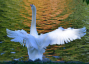 © Licensed to London News Pictures. 12/10/2012. Westminster, UK A swan stretches its wings against autumnal reflections in the lake at St James Park today 12 October 2012. Photo credit : Stephen Simpson/LNP