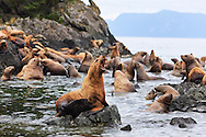 Steller Sea Lions (Eumetopia jubatus) resting in a rookery on Sail Island in Frederick Sound in the Inside Passage of Southeast Alaska. Summer. Afternoon.