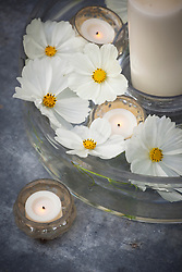 Floating flowers of Cosmos bipinnatus 'Sonata White' with battery candles