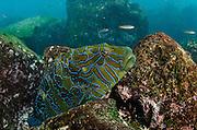 Hieroglyphic Hawkfish (Cirrhitus rivulatus)<br /> GALAPAGOS ISLANDS,<br /> Ecuador, South America