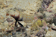 spotted shrimp goby, Amblyeleotris guttata, and blind shrimp, Alpheus sp., shrimp keeps antennae on goby to monitor movements, shrimp and goby, have a symbiotic relationship, the goby acts as watchdog for shrimp, which constructs burrow used by both, the shrimp is nearly blind, Christine's Reef, Kimbe Bay, Papua New Guinea ( Bismarck Sea )