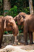 Asian elephants playing at the Singapore Zoo, Singapore, Republic of Singapore