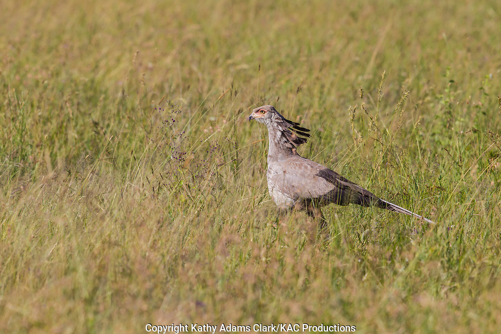 Secretary bird, Sagittarius serpentarius, Serengeti, Tanzania, Africa.