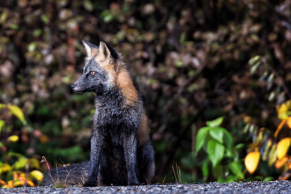 A red fox in autumn coat sits along the Cassiar Highway in British Columbia.