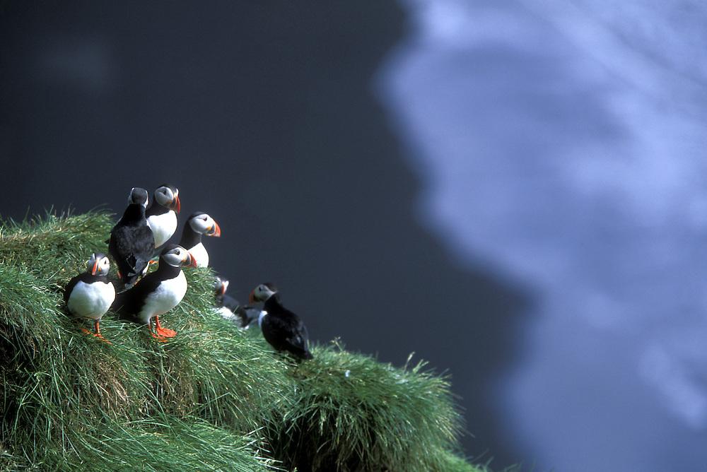 Europe, Iceland, Vik Hoi Myrdal, Puffins (Fatercula arctica) nest in rocky Reynisfjall cliffs along southern coast