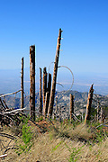 The remains of trees damaged or killed by the Aspen Fire of 2003 compromise the landscape on Mount Lemmon, a sky island near Tucson, Arizona, USA.  The fire consumed 84,750 acres in the Santa Catalina Mountains in the Coronado National Forest of the Sonoran Desert.  Trees were further damaged and toppled by heavy storms this past winter.  New growth is visible in some of the burned areas.