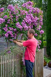 Tying in a climbing rose - Rosa 'Veilchenblau' AGM