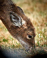 Scraggly Young Doe. Image taken with a Nikon D5 camera and 600 mm f/4 VR lens (ISO 1400, 600 mm, f/4, 1/1250 sec).