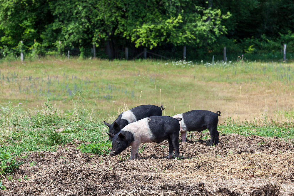 Black and white belted Hampshire heritage breed piglets enjoying sun and fresh air in a farm field.