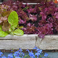 Freckles lettuce and 2 varieites of red leaf lettuce growing in a wooden box in an urban rooftop container garden.