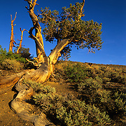 Ancient bristlecone pine tree clings to life on a rocky slope of the White Mountains in Inyo National Forest, CA.