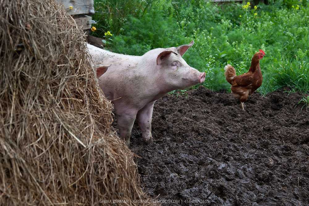 A pink pig and a brown chicken exploring their farm yard and mud patch.