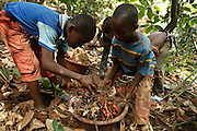 Tanic Kouakou, 8, (R) helps a friend lift palm nuts on a cocoa plantation near the town of Moussadougou, Bas-Sassandra region, Cote d'Ivoire on Monday March 5, 2012.