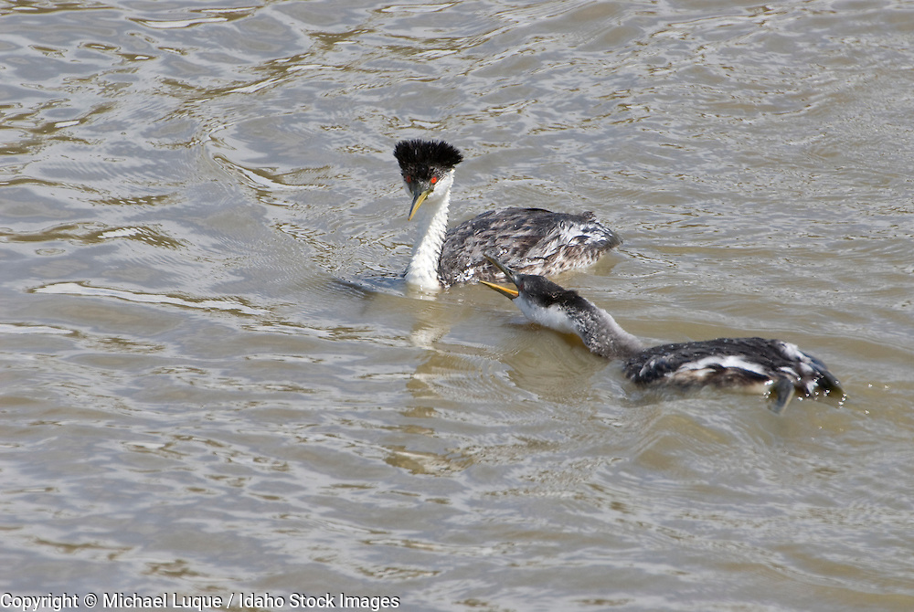Western grebe female feeding young fish.