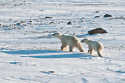 Polar bear sow and cub Ursus maritimus on frozen tundra<br /> Churchill<br /> Manitoba<br /> Canada