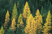 Western larch or tamarack in Fall color, with Douglas-fir and other coniferous trees; Mount Hood National Forest, Cascade Mountains, Oregon.