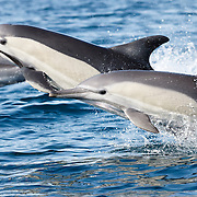 Indo-Pacific common dolphins (Delphinus delphis tropicalis) racing at high speed