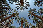Desert Agriculture. fisheye view of a Palm tree plantation Photographed in the Dead Sea region, Israel