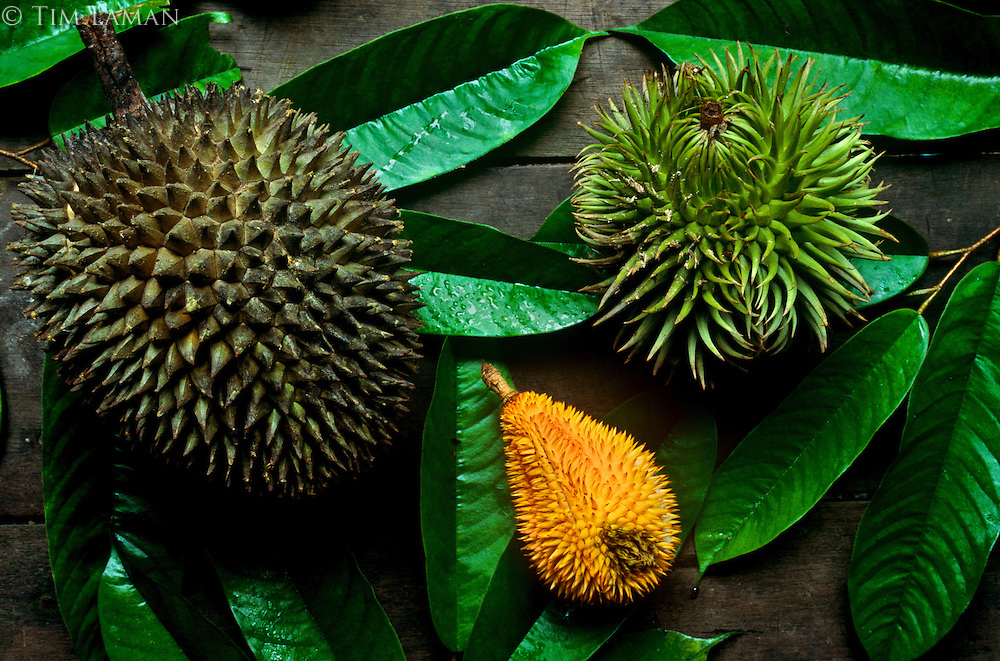 Comparison shot of three different species of Durian fruit..Left is cultivated Durian from the village.  Center is a wild durian favored by hornbills.  Right is a wild durian favored by orangutans and other mammals.