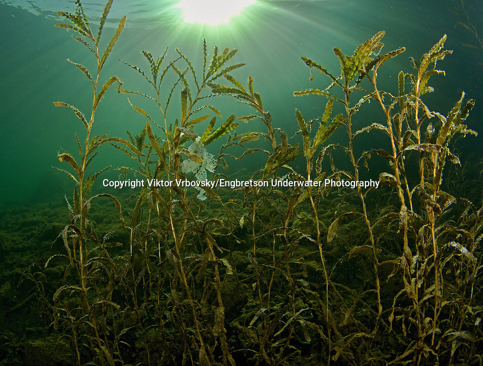 Yellow Perch Eggs (on Curly-leaf Pondweed)<br />