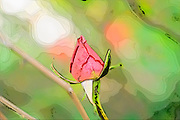 Red garden rose bud on a lush green background