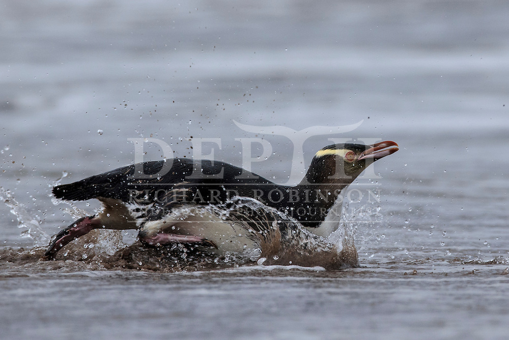 Megadyptes antipodes (Yellow eyed penguin) heads to sea at dawn to forage for food at Sandy Bay, Enderby Island, Auckland Islands, New Zealand.<br /> 08 January 2016<br /> Photograph Richard Robinson &copy; 2016
