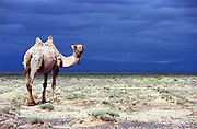 photos from travels in Mongolia - camel in the Gobi Desert -<br /> <br /> Photo must be credited to &quot;Jacques-Jean Tiziou / www.jjtiziou.net&quot; adjacent to the image. Online credits should link to www.jjtiziou.net. Photo may only be used as permitted by the photographer.
