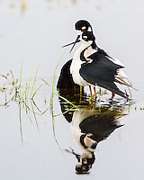 Black-necked Stilt, Himantopus mexicanus<br />