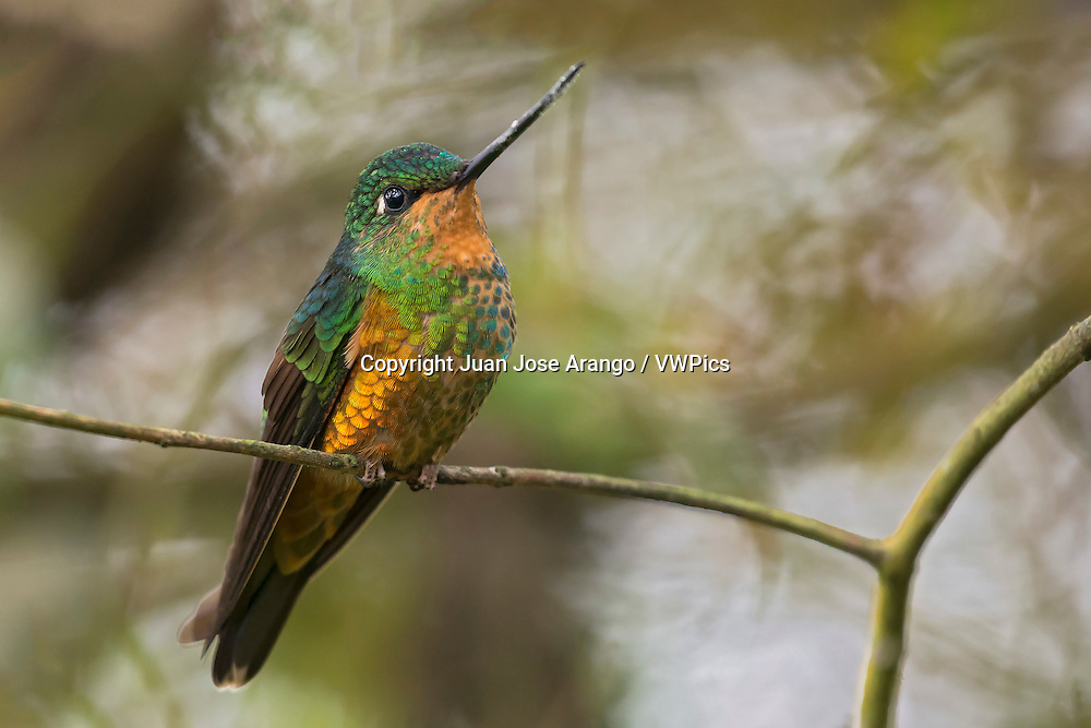 Golden-bellied Starfrontlet  (Coeligena bonapartei ) female, Chicaque, Cundinamarca