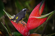 2015-05-08-Trujillo Alto, Puerto Rico- Reintia en heliconia. Tanager in a Heliconia Flower.