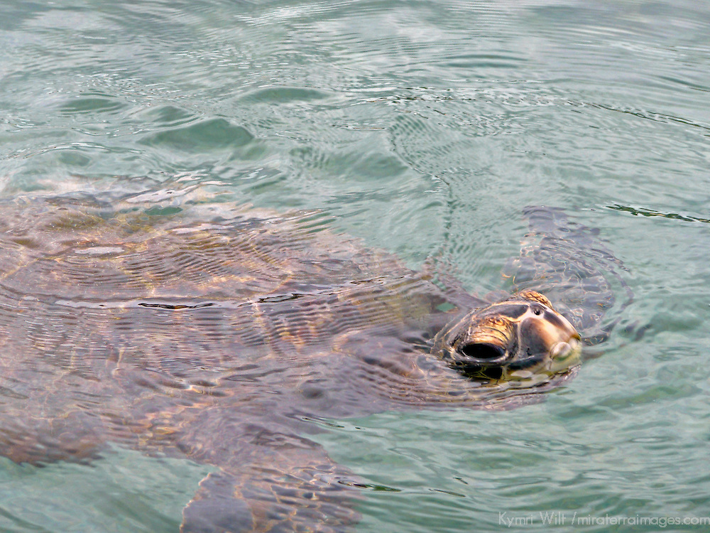 Tranquil Green Sea Turtle on the Kohala Coast of the Big Island, Hawaii.