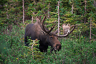 A picture of a North American Moose wandering around the willows looking for food.<br />