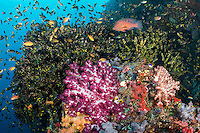 Anthias, Damsels, and a Coral Grouper amongst teeming hard and soft corals.<br /> <br /> Shot in Indonesia