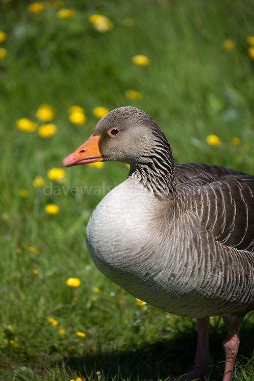 Greylag Goose (Anser anser) at the North Slob, Wexford, Ireland.