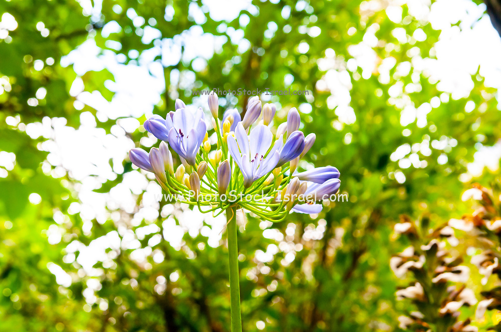 Blue African lily (Agapanthus) flowers in a garden. Photographed in Jerusalem Israel in June
