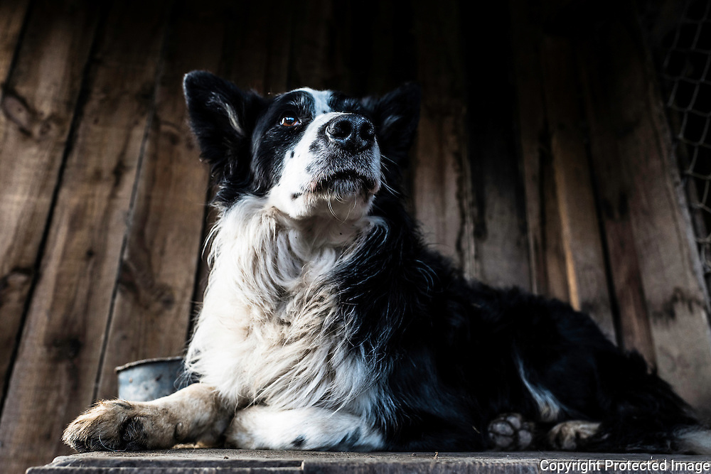 Collie dog in a kennel.