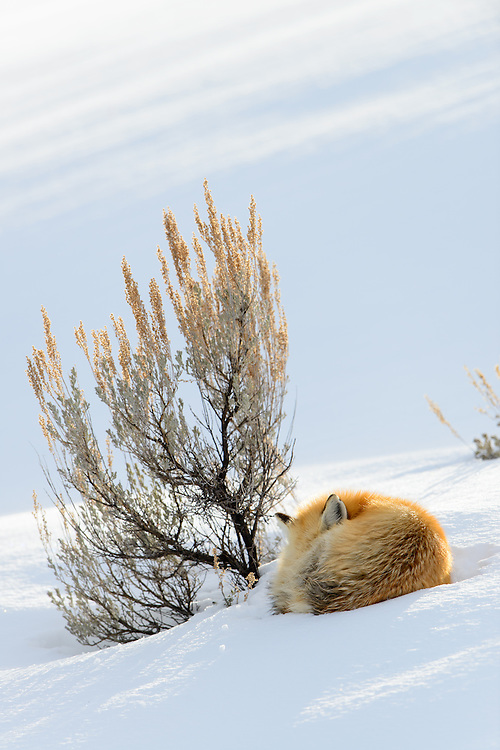 A red fox (Vulpes vulpes) curls up against a sage bush to sleep a cold afternoon away, Yellowstone National Park