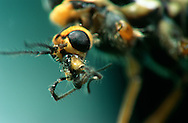DEU, Deutschland: Porträt von einer Schnake (Pales flavescens), Nahaufnahme | DEU, Germany: Crane fly (Tipula spec.), insect portrait, close-up |