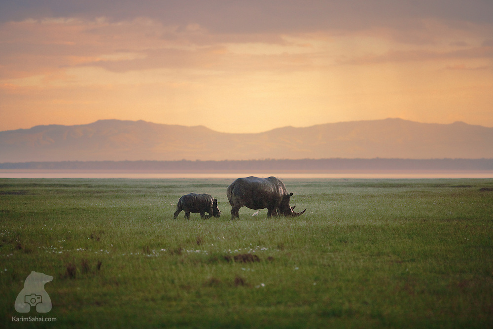 A female rhinoceros and its cub graze near Lake Nakuru, Kenya