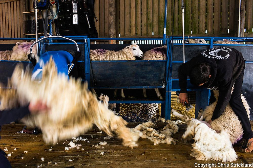 Dolphinston Farm, Jedburgh, Scottish Borders, UK. 24th June 2015. Sheep shearers clipping Lleyne ewes on Dolphinston Farm in the Scottish Borders.