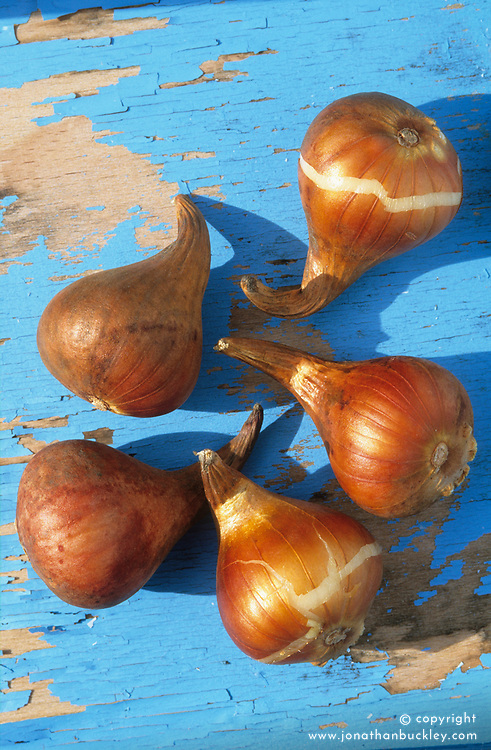 Healthy tulip bulbs ready for planting