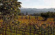 Grape vines at a Napa Valley vineyard