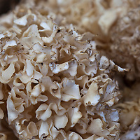 Chicken of the woods or maitake edible wild mushroom (Grifola frondosa)