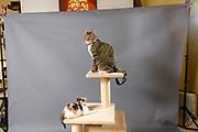 Lennox and Sloan of cat instagram Two Lucky Rescue Cats. Photo by Akron Pet Photographer Mara Robinson. Pretty brown tiger striped tabby cat Lennox, and cute calico kitten Sloan on a beige cat condo scratching post perch.