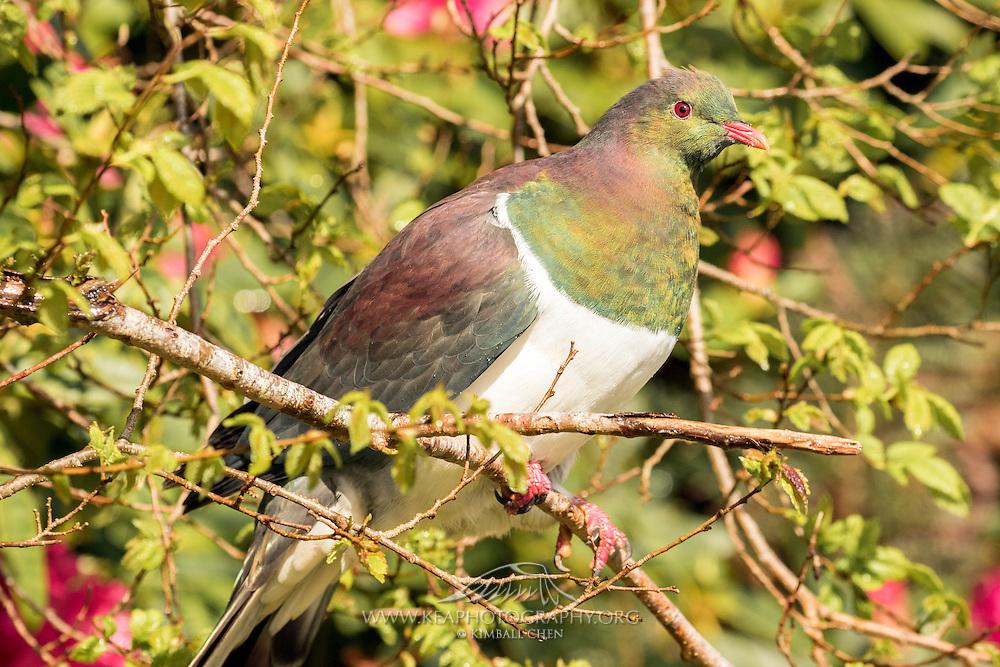 NZ Wood Pigeon in nice sunlight, Stewart Island, New Zealand