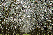 Without  bees, the crops in this almond orchard will not be pollinated.