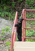 Black Bear (Ursus americanus) cub standing at a building, Anchorage.