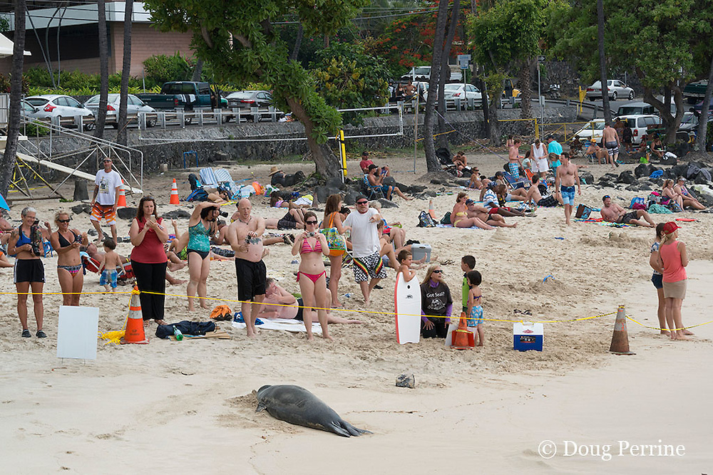 marine mammal response network volunteer Paulette Wright Smith (in black shirt at right) talks to children about Hawaiian monk seal; 7 year old male seal, recently molted, rests on beach inside SPZ ( seal protection zone ), La'aloa or Magic Sands Beach Park, Kailua Kona, Hawaii ( Big Island ) ( Central Pacific Ocean )