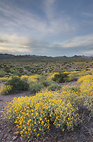 Sonoran Desert, Brittlebush (Encelia farinosa) in the foreground Superstition Mountains, Arizona